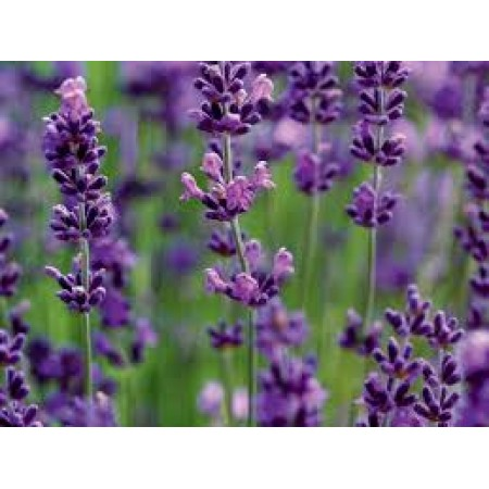 Lavender Pure (mixed plant species) 15mL