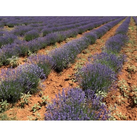 Lavender Pure (Greek) 15mL