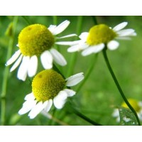 Chamomile Pure (Roman) 5mL