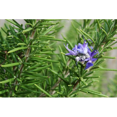 Rosemary Pure 15mL