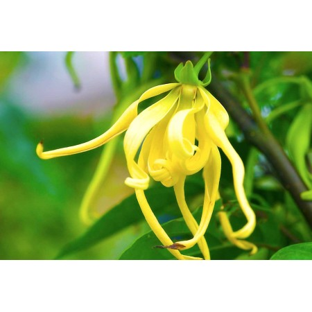 Ylang Ylang Pure 15mL